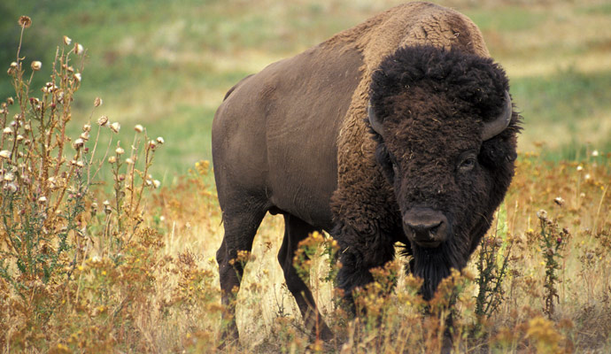 American Bison (Bison bison). The American bison is often used in north America in official seals, flags, and logos. In the United States, the American Bison is a popular symbol in the Great Plains states.
