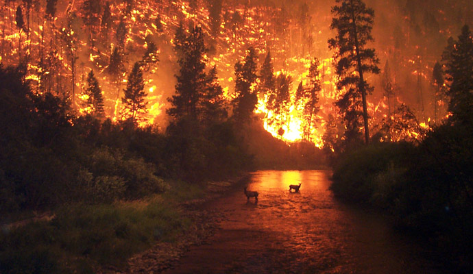Elk are taking refuge in a river to escape a large forest fire in Montana in 2000.