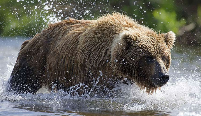 Kodiak Bear (Ursus arctos middendorffi). This Alaskan brown bear is the largest subspecies of Brown Bear and occupies the islands of the Kodiak Archipelago in south-central Alaska.